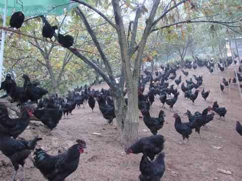 土大妈绿壳蛋鸡饲养环境