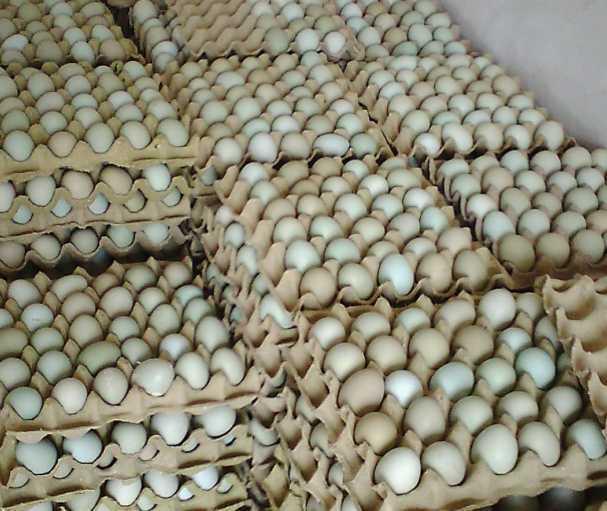 土大妈绿壳鸡蛋