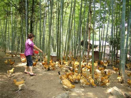 三黄鸡饲养环境